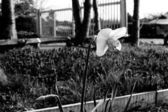 Daffodil (tercrossman87) Tags: canon ftb ilford hp5 400 1600 push ilfotec microphen stock film home development plustek 8200i 50mm 18 fd ql