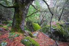 Moss in Yosemite (chad_shahin) Tags: granite boulders rocks moss yosemite yosemitevalley outdoors hiking trees leaves oak