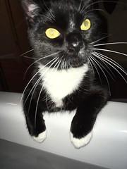 satchi micromanaging (ms. neaux neaux) Tags: satchi cat tuxedo bathtub nosey intrusive demanding weirdo strange funny silly