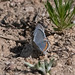 Acmon Blue Butterfly |V&R | Silver Creek | Portal | AZ|2019-04-13|09-14-36
