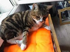 lili-à-l'envers© (alexandrarougeron) Tags: photo alexandra rougeron lili chat minou chou bébé belle beauté félin féline mignonne