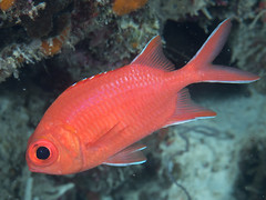 Whitetip soldierfish (Myripristis vittata)