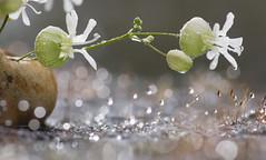 Pastel Drops (Angelo Petrozza) Tags: macromondays hmm pastel drops angelopetrozza smcdfa100mmf28macrowr goccioline silene flower fiore macro