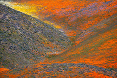Spring In Abstract (jojo (imagesofdream)) Tags: tejonranchconservancy tejonranch landscape wildflowers california landscapephotomag kerncounty natgeo nationalgeographic