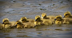 Perfect Formation - Goslings (foto tuerco) Tags: canada goslings formation swimming wetlands oregon