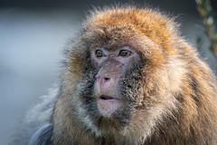 The Old Lady (Malc H) Tags: staffordshire things monkeyworld monkeys wildlife unitedkingdom places trentham