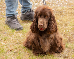 Dobby april 2019 (Yvonne L Sweden) Tags: cockerspaniel spring taxingeslott taxinge dobbylarsson april2019 tongue sweden tot vår unghund dobby