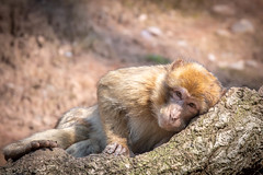 Taking A Nap (Malc H) Tags: staffordshire things monkeyworld monkeys wildlife unitedkingdom places trentham