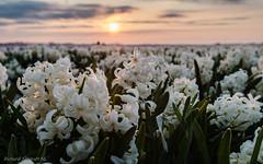 Hyacinth Sunrise (De Hollena) Tags: gartenhyazinthe holland hyacint hyacinth hyacinthus hyacinthusorientalis hyazinthe jacinthedorient lespaysbas nederland niederlande noordholland nordholland sonnenaufgang sunrise thenetherlands zonsopgang