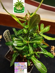 Photo of ACCLIMATIZED ADENIUM OBESUM  KAMALIA  DOUBLE   FLOWERING PLANT PRESENTED BY ajwaplantsuk.com (3)