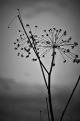 umbellifer in black&white (EllaH52) Tags: plant umbellifer greyscale monochrome blackwhite simplicity minimalism grey dry faded