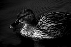 Cane N&B / Female Duck N&B (LonánWL) Tags: duck water park bird nature wildlife outdoor outside cane eau parc oiseau dehors exterieur canoneos200d monochrome noiretblanc noirblanc blackandwhite blackandwhitephoto canonefs55250mmf456isstm