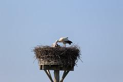 West-Betuwe: blossom time (H. Bos) Tags: beesd betuwe westbetuwe lingeroute bloesem blossom voorjaar spring ooievaar stork holland typischhollands