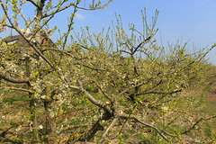 West-Betuwe: blossom time (H. Bos) Tags: asperen betuwe westbetuwe lingeroute bloesem blossom voorjaar spring holland typischhollands