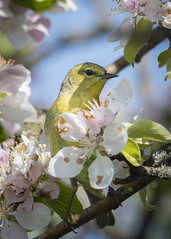 OCW Behind Blossoms (TW Olympia) Tags: orange crowned warbler nisqually national wildlife refuge