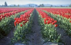Rows (vtom61) Tags: pentax pentax67105mm24 fujichrome provia100f provia 120 film mediumformat skagitvalley tulips flowers landscape washingtonstate nature bokeh slidefilm
