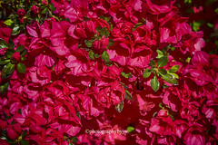 Azaleas in Red (Photographybyjw) Tags: azaleas red bright spring day bring out strong color these new blossoms shot north carolina ©photographybyjw nature blossom green rural country foliage bush
