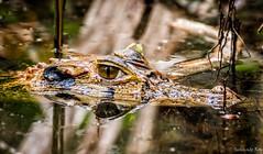 I see you (sunandoroyphotography) Tags: natgeowild natgeo puertomaldonando travellife visitperu amazon peru nikonphotographer nikonphotography nikond7200 nikon
