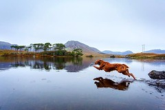 #throwbackthursday to a great weekend in Connemara National Park last year! The weather wasn't ideal, but the views made up for it... A little overcast, a little misty and very magical. Ideal for a photo shoot, canoe trip and a swim in the lake! • • • • • (watson_the_adventure_dog) Tags: throwbackthursday great weekend connemara national park last year the weather wasn't ideal but views made up for it a little overcast misty very magical photo shoot canoe trip swim lake • hikingdogsofinstagram irishpassion exploremore destinationearth welivetoexplore weeklyfluff backcountrypaws irish keepitwild awesomeearthpix roamtheplanet petsofinstagram dogsthathike loveireland theoutbound discoverglobe instagoodmyphoto doglover hikingwithdogs instaireland getoutstayout earthofficial ilovemydog heelergram visitireland stayandwander theglobewanderer earthfocus dogsofig