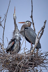 Great Blue Herons on the nest (Rivers, Lakes, Nature & Architecture) Tags: blueheron rookery nest avian bird mississippiriver island trees spring sky ritual mating nikon nikkor 200500mm wildlife birding