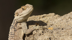 Sling Tailed Agama (Jackie's Photos 2011) Tags: reptiles agama