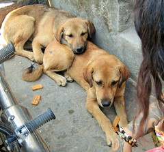 IMG_8375 sisters (belight7) Tags: street dogs need love tso pema rewalsar india