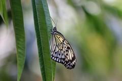 Grand Planeur ( Idea leuconoe ) (Nature Box) Tags: img8093 papillon grandplaneur paperkite idealeuconoe