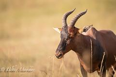 Topi (mayekarulhas) Tags: topi africa animal antilope wildlife wild herbivore masaimara canon canon500mm canon1dxmark2