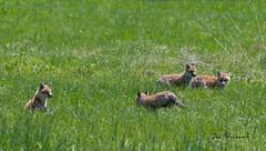 4 Fox Kits - Mccollough Camp (dfbphotos) Tags: wildlife foxkit wattlesrun sabinsville tiogacounty places mccolloughcamp otherkeywords pa usa