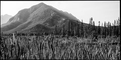 Across The Wetlands (greenschist) Tags: alberta trees blackwhite canada wetlands mountains banffnationalpark forest