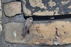 Sand Martin (sumowesley) Tags: bird fauna fiveweirswalk nature riverdon sandmartin