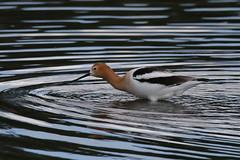 American Avocet (fethers1) Tags: belmarpark kountzelake shorebird bird americanavocet