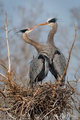 _7HB9181 (Hilary Bralove) Tags: colorado birds wildlife coloradobirds coloradowildlife blueherons cormorants shovelers birdsinflight