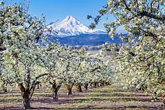 Mt. Hood (Gary Grossman) Tags: orchard pears mountain hood peak snowcapped spring april valley landscape northwest oregon moutains cascades volcano garygrossman garygrossmanphotography pacificnorthwest hoodrivervalley hoodriver mthood casadepeak