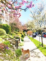 190331 Spring in the block (Fob) Tags: march 2019 mango shiba shibainu dog pet 柴犬
