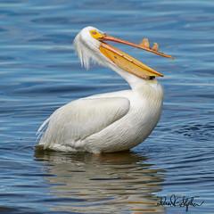 Yuk, yuk, my name is Clem... (dcstep) Tags: pelican americanwhitepelican preening sonya9 fe400mmf28gmoss fe20xteleconverter allrightsreserved copyright2019davidcstephens dxophotolab22 cherrycreekstatepark greenwoodvillage colorado usa lake reservoir water cherrycreekreservoir bird blue black dsc9436dxo
