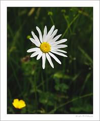 Daisy and buttercup (G. Postlethwaite esq.) Tags: dof derbyshire ecclesbournerailway highpeakjunction leawoodpumphouse macro bokeh buttercup closeup daisy depthoffield flower photoborder selectivefocus