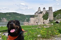 Golubac (dinapunk) Tags: serbia golubac castle ruins fort history dog pet animal rottweiler view river hills