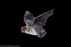 Fringed Myotis (SVALDVARD) Tags: svaldvard svaldvardink josegabrielmartinez arizona bat bats high speed sync