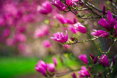 Spring. Finally. (Arutemu) Tags: 85mm a7rii carlzeissplanar85mmf14t ilcea7rii sony sonya7rii sonya7rmarkii f14 manualfocus mirrorless bokeh flower flowers dof blur zeiss ぼけ ボケ 暈け 陽光 光 景色 光景