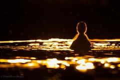 Ducklings playing (budgiepaulbird) Tags: ducklings goldenhour eveninglight eveningsun 100400mark2 canon7dmark2 watersedge waterfowl birds ducks