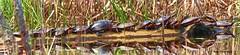 LogJam (RayTheriault) Tags: turtles water waterfront wildlife newhampshire sigma 150600mm nikon nikond810 nature