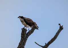 Osprey Posing (lablue100) Tags: birdsofprey osprey bird animals tree branch posing wings beauty nature landscapes alone