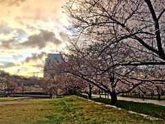 20190401_172558-IMG_6798 (dudegeoff) Tags: osaka japan 2019 april osakacastle 20190323b0401bkixosakacastle cherryblossoms rain flowers