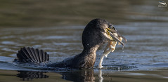 Not much meat on the bone ! (Mick Erwin) Tags: fish skeleton cormorant fishing nikon afs 600mm f4e fl ed vr lens tc14e teleconverter iii d850 mick erwin stoke trent staffordshire wildlife nature