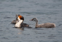 Great Crested Grebes (wryneck94) Tags: birdwatching somersetlevels somerset