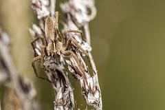 Pisaura mirabilis (Jaume Bobet) Tags: pisaura mirabilis araneae pisauridae araña macro bobet canon sigma