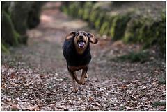 5 Years younger 💘 💝 (lichtspuren) Tags: lemmy lemmel bracke hellenichound hellinikosichnilatis blackandtan braque dog hund friend lichtspuren
