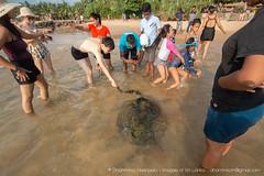 IMG_7625.jpg (Dhammika Heenpella / CWSSIP Images of Sri Lanka) Tags: dhammikaheenpella traveldestination feeding ශ්රීලංකාවේචායාරූප ධම්මිකහීන්පැල්ල placeofinterest turtle ශ්රීලංකාව imagesofsrilanka srilanka placesofinterest ශ්රීලංකාවේෆොටෝ hikkaduwabeach