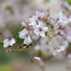 sakura(櫻花) (Hideki Iba) Tags: bokeh sakura さくら サクラ 桜 櫻花 kobe japan square nikon d850 58mm plant tree blossom
